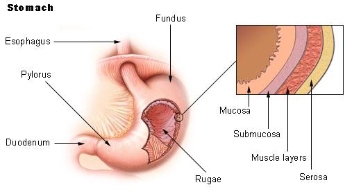 stomach1